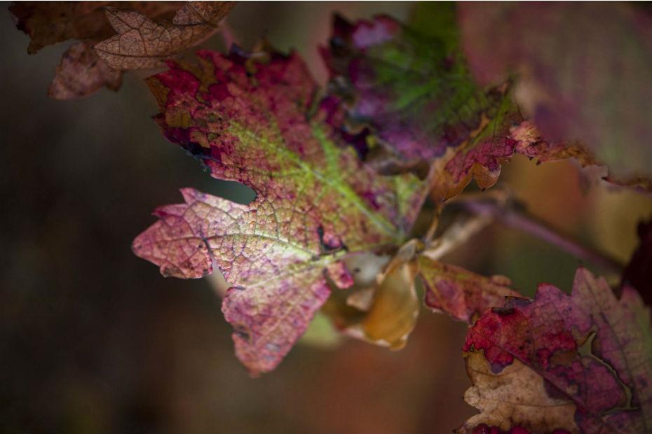 Une feuille d'abouriou, le cépage emblématique des vins du Marmandais, une appellation du Sud-Ouest.